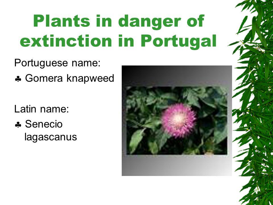 Plants in danger of extinction in Portugal Portuguese name:  Tomilho-Carnudo Latin name:  Thymus carnosus