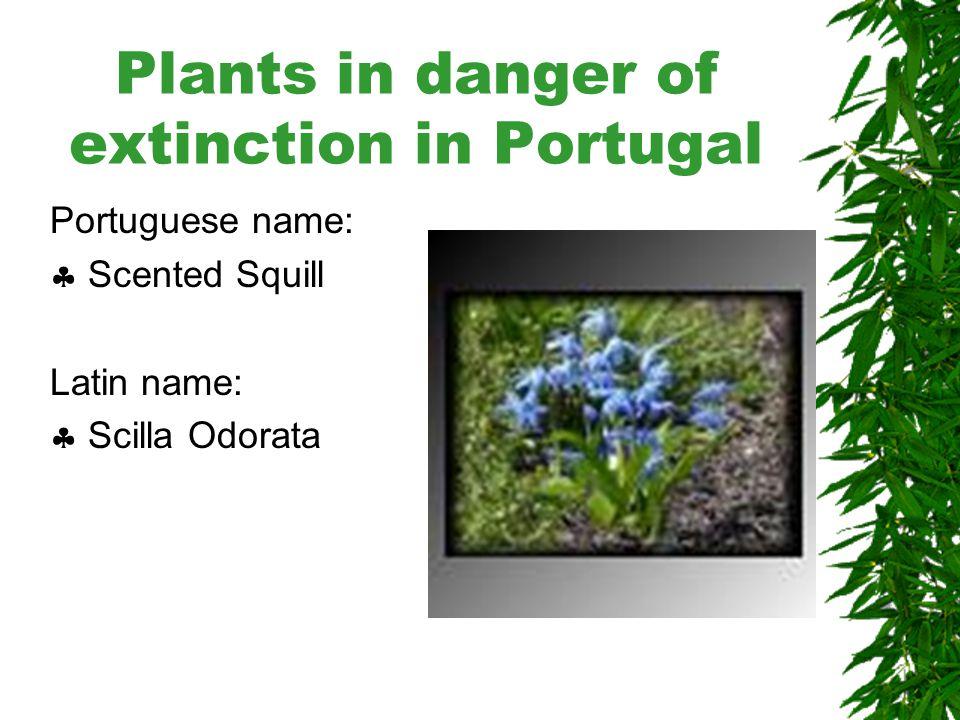 Plants in danger of extinction in Portugal Portuguese name:  Gomera knapweed Latin name:  Senecio lagascanus
