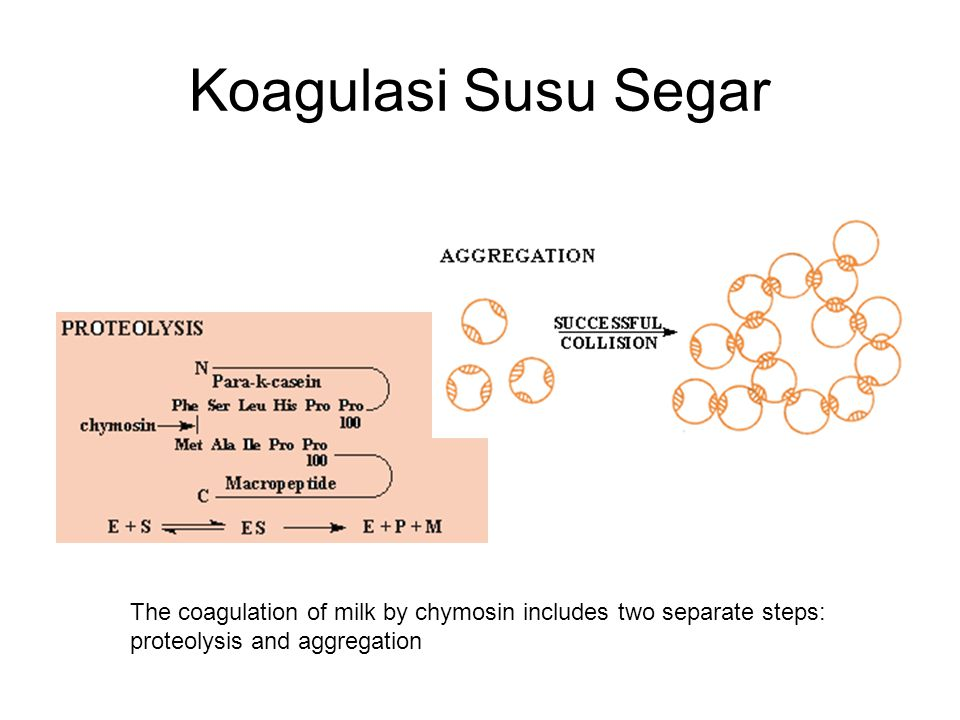 Koagulasi Susu Segar The coagulation of milk by chymosin includes two separate steps: proteolysis and aggregation