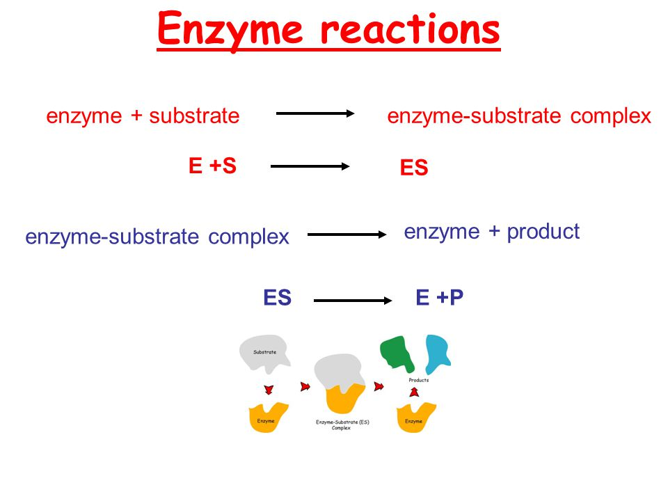 Enzyme reactions enzyme + product enzyme-substrate complex E +PES enzyme + substrateenzyme-substrate complex E +S ES