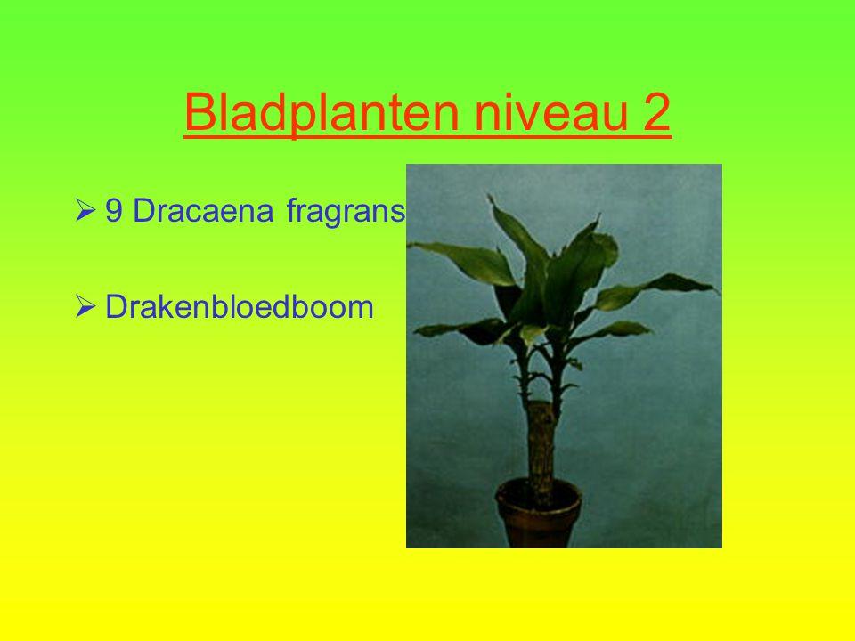 Bladplanten niveau 2  8 Asparagus densifloris 'Sprengeri'  Sierasperge