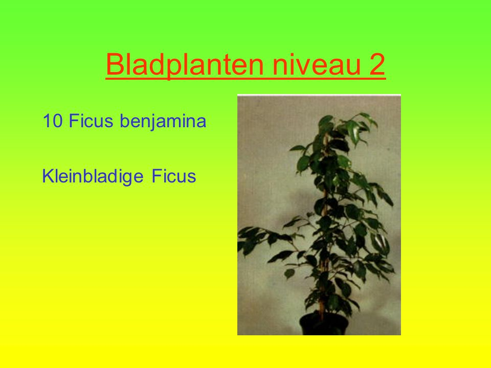 Bladplanten niveau 2  9 Dracaena fragrans  Drakenbloedboom