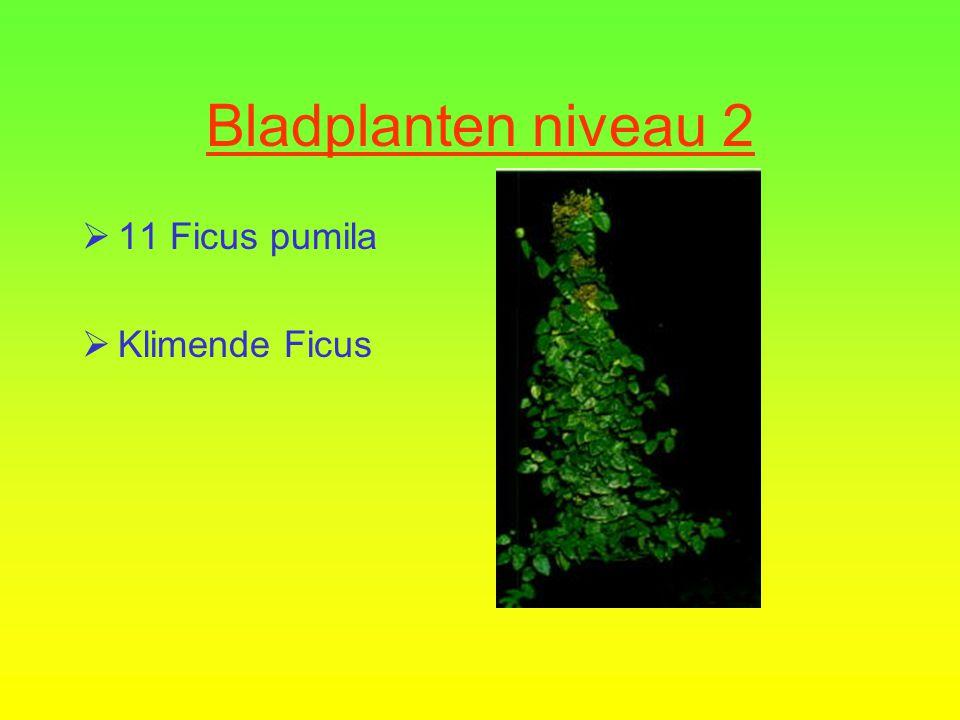 Bladplanten niveau 2 10 Ficus benjamina Kleinbladige Ficus