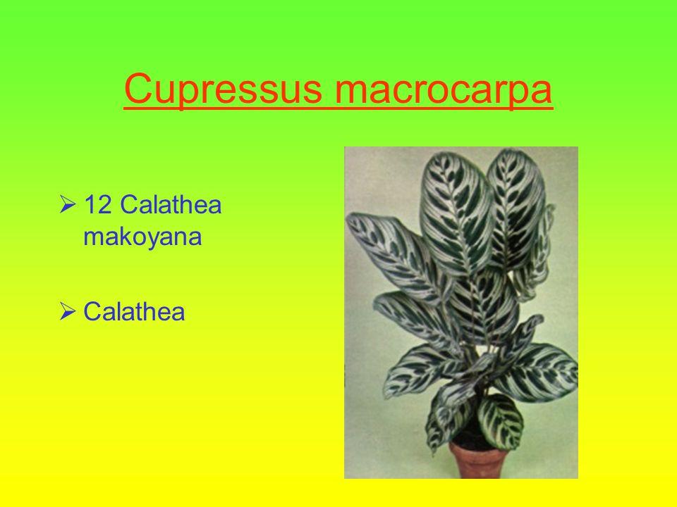 Bladplanten niveau 2  11 Ficus pumila  Klimende Ficus