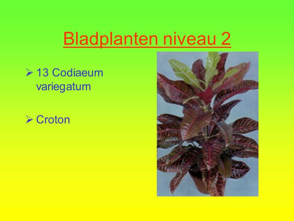 Cupressus macrocarpa  12 Calathea makoyana  Calathea