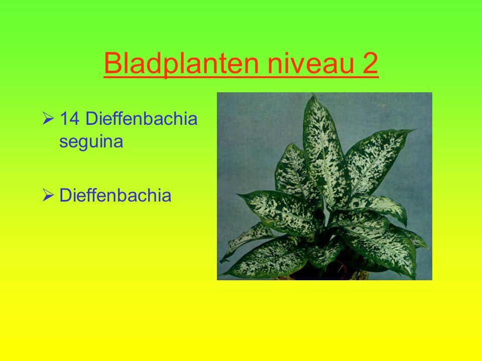 Bladplanten niveau 2  13 Codiaeum variegatum  Croton