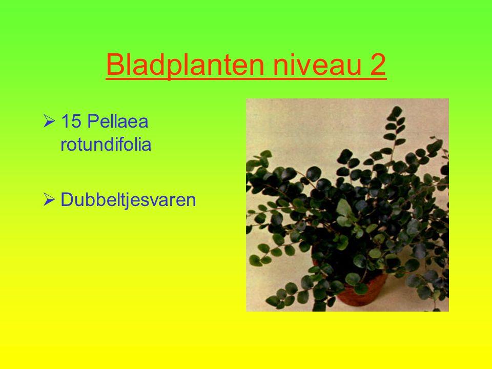 Bladplanten niveau 2  14 Dieffenbachia seguina  Dieffenbachia