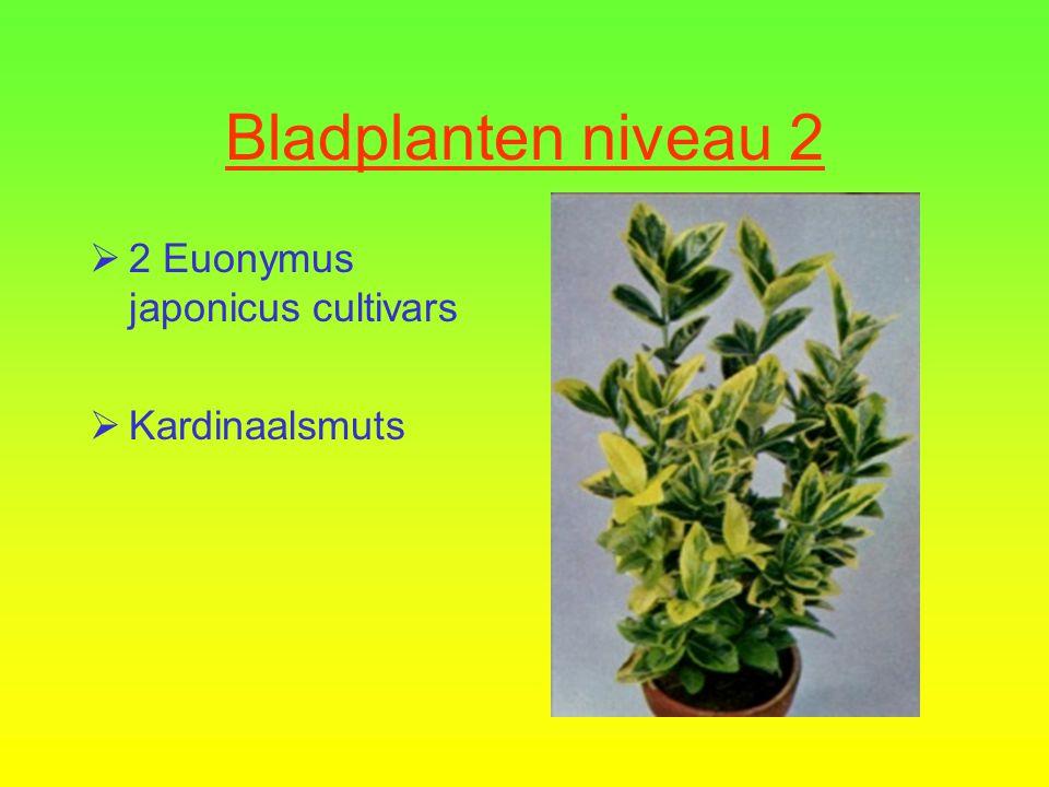  1 Cupressus macrocarpa  Kamerconifeer