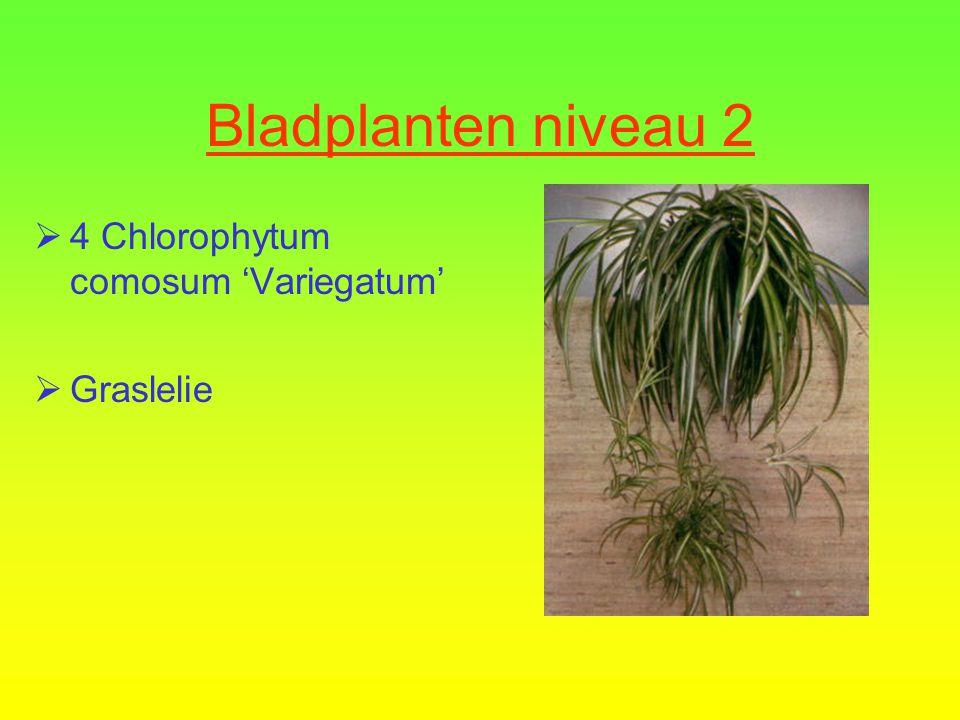 Bladplanten niveau 2  3 Hedera helix cultivars  Klimop