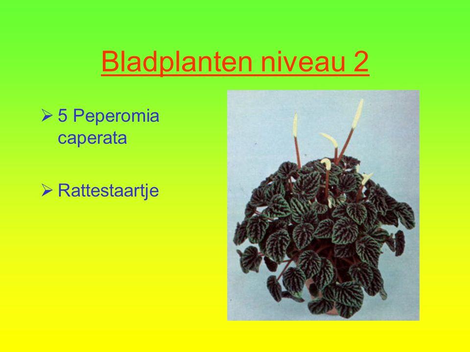 Bladplanten niveau 2  4 Chlorophytum comosum 'Variegatum'  Graslelie