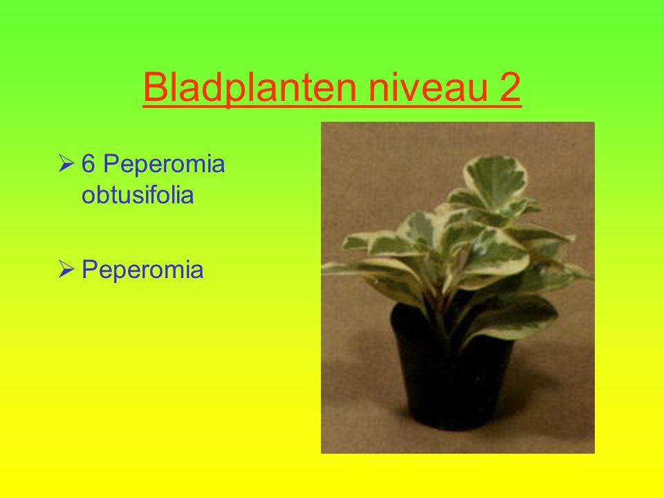 Bladplanten niveau 2  5 Peperomia caperata  Rattestaartje