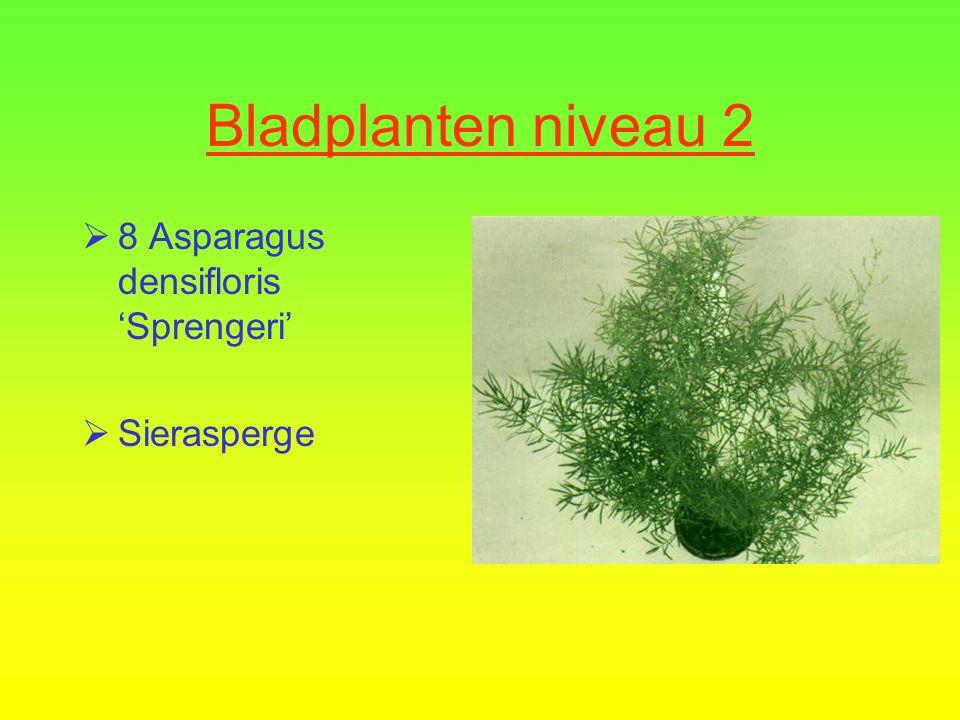 Bladplanten niveau 2  7 Soleirolia solerolii  Baard van mozes