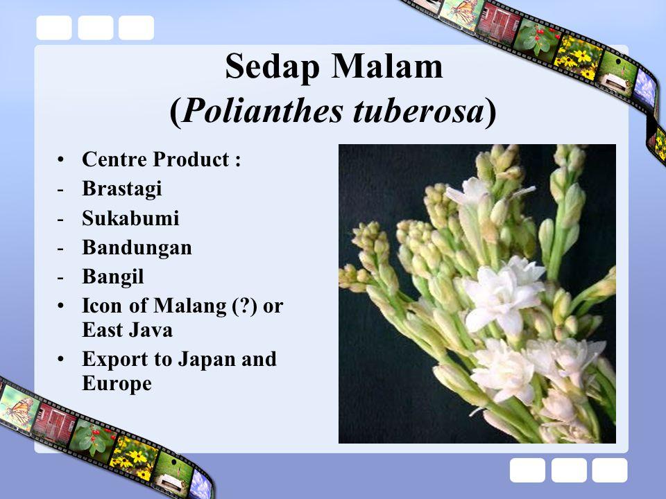 Sedap Malam (Polianthes tuberosa) Centre Product : -Brastagi -Sukabumi -Bandungan -Bangil Icon of Malang (?) or East Java Export to Japan and Europe