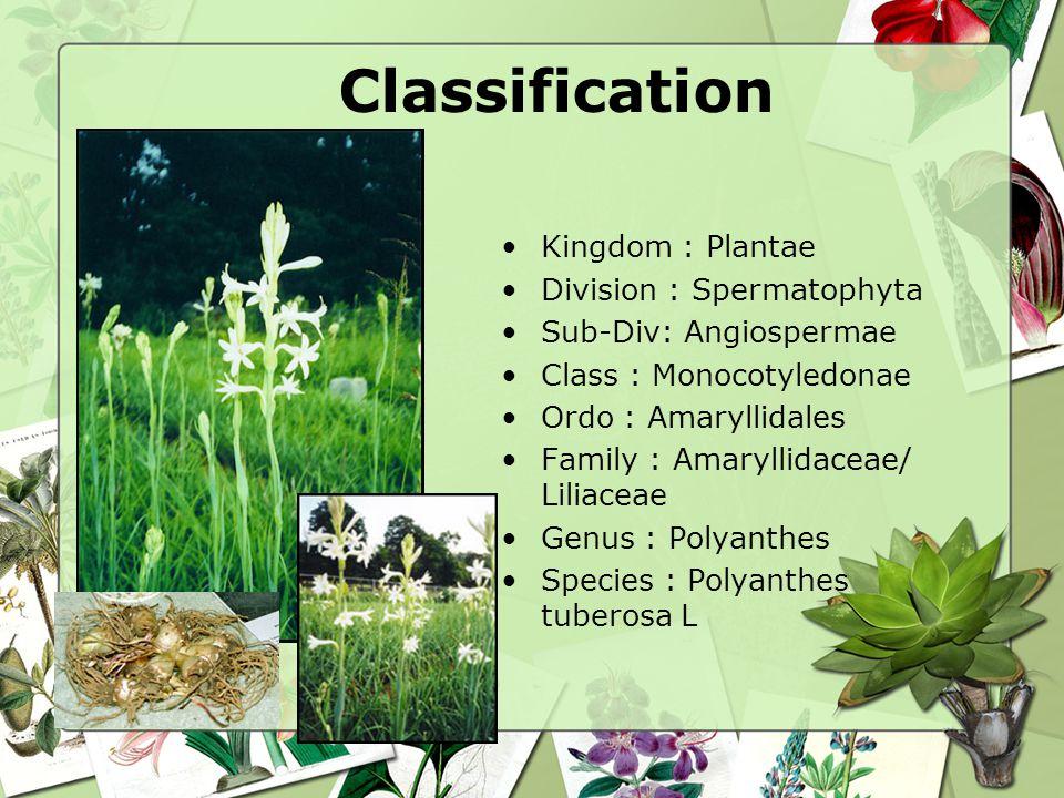 Classification Kingdom : Plantae Division : Spermatophyta Sub-Div: Angiospermae Class : Monocotyledonae Ordo : Amaryllidales Family : Amaryllidaceae/ Liliaceae Genus : Polyanthes Species : Polyanthes tuberosa L