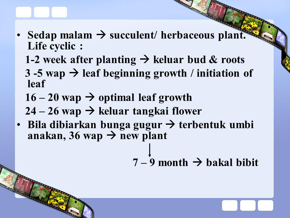 Sedap malam  succulent/ herbaceous plant.