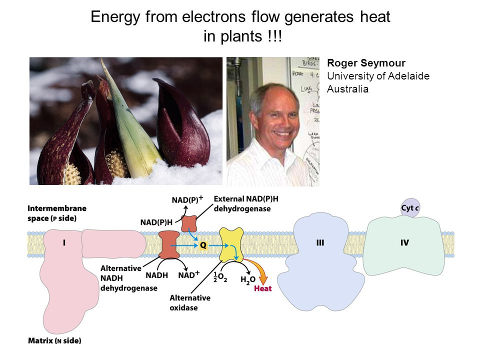 Energy from electrons flow generates heat in plants !!.