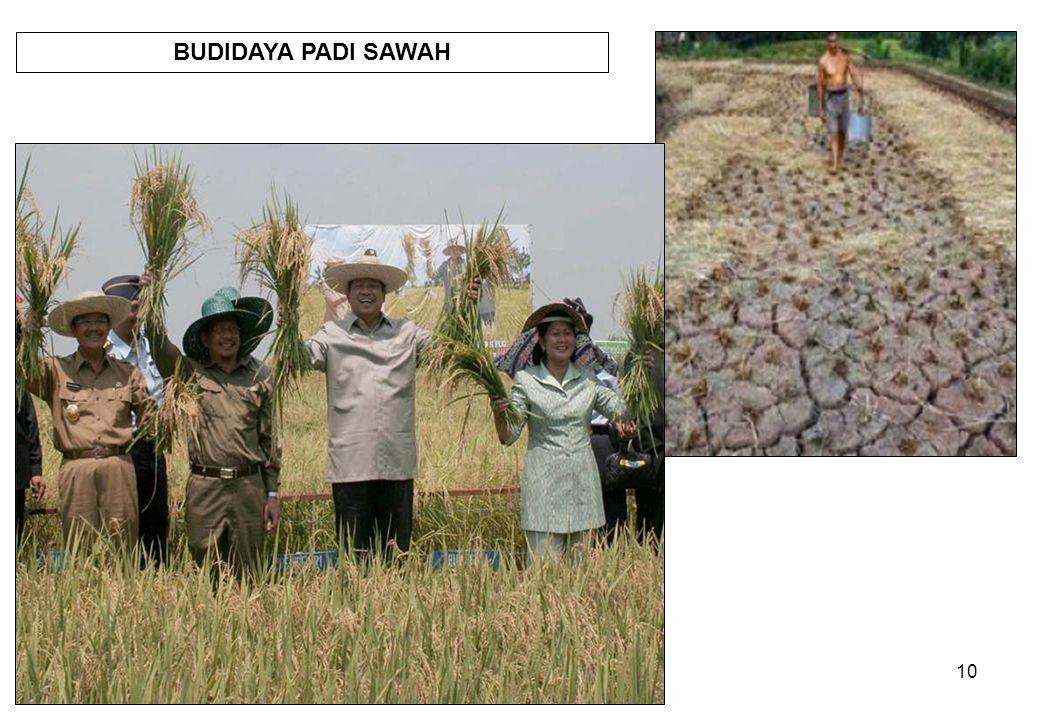 10 BUDIDAYA PADI SAWAH
