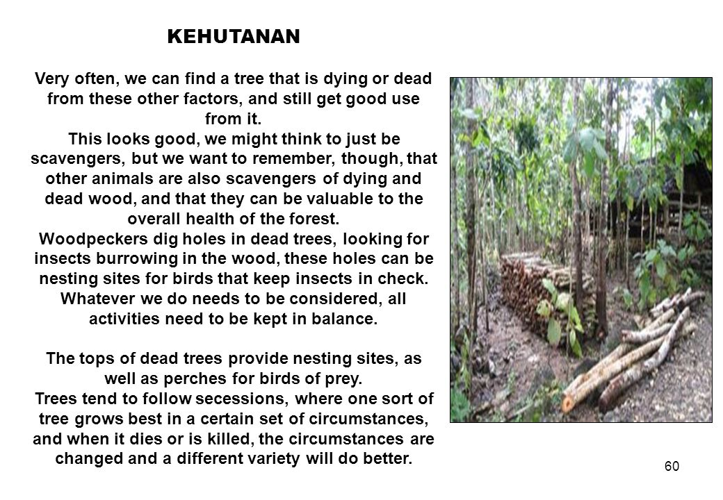 60 KEHUTANAN Very often, we can find a tree that is dying or dead from these other factors, and still get good use from it. This looks good, we might