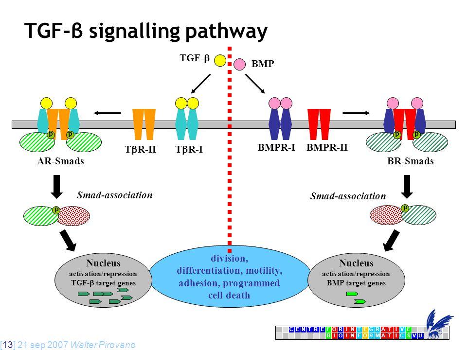 [13] 21 sep 2007 Walter Pirovano CENTRFORINTEGRATIVE BIOINFORMATICSVU E TGF-β signalling pathway T  R-IIT  R-I TGF-  AR-Smads division, differentiation, motility, adhesion, programmed cell death Nucleus activation/repression TGF-  target genes Smad-association p pp BMPR-IBMPR-II BR-Smads p Nucleus activation/repression BMP target genes BMP Smad-association pp