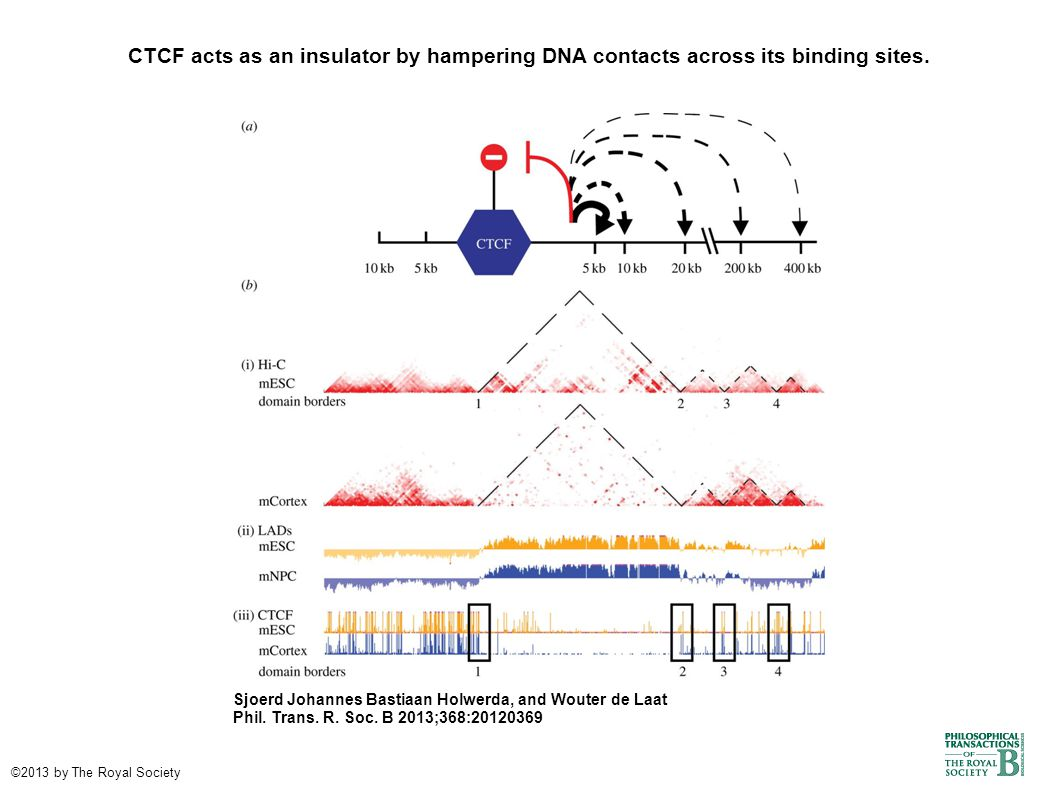 CTCF acts as an insulator by hampering DNA contacts across its binding sites.
