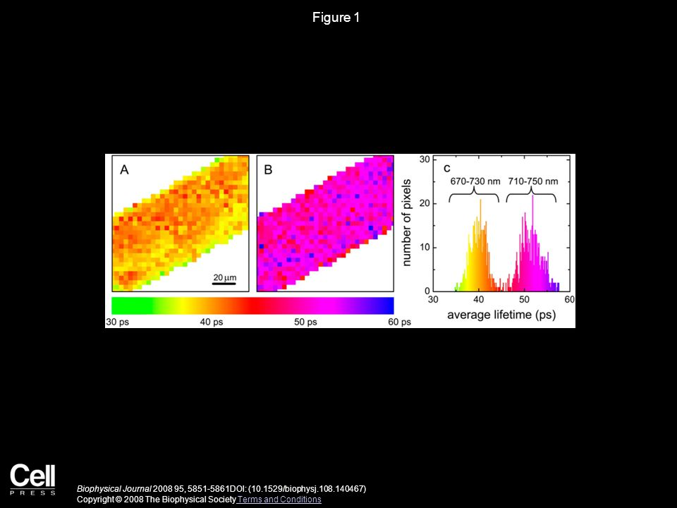 Figure 1 Biophysical Journal 2008 95, 5851-5861DOI: (10.1529/biophysj.108.140467) Copyright © 2008 The Biophysical Society Terms and Conditions Terms and Conditions