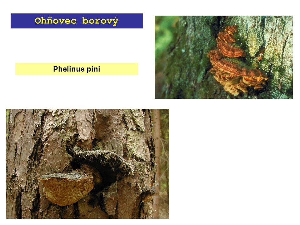 Phelinus pini Ohňovec borový