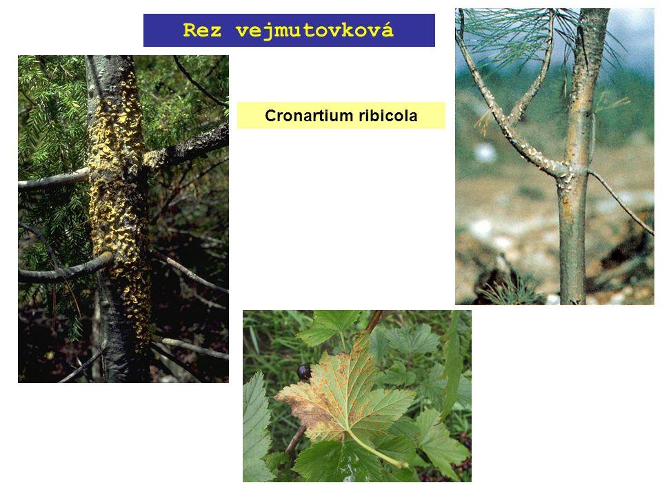 Cronartium ribicola Rez vejmutovková
