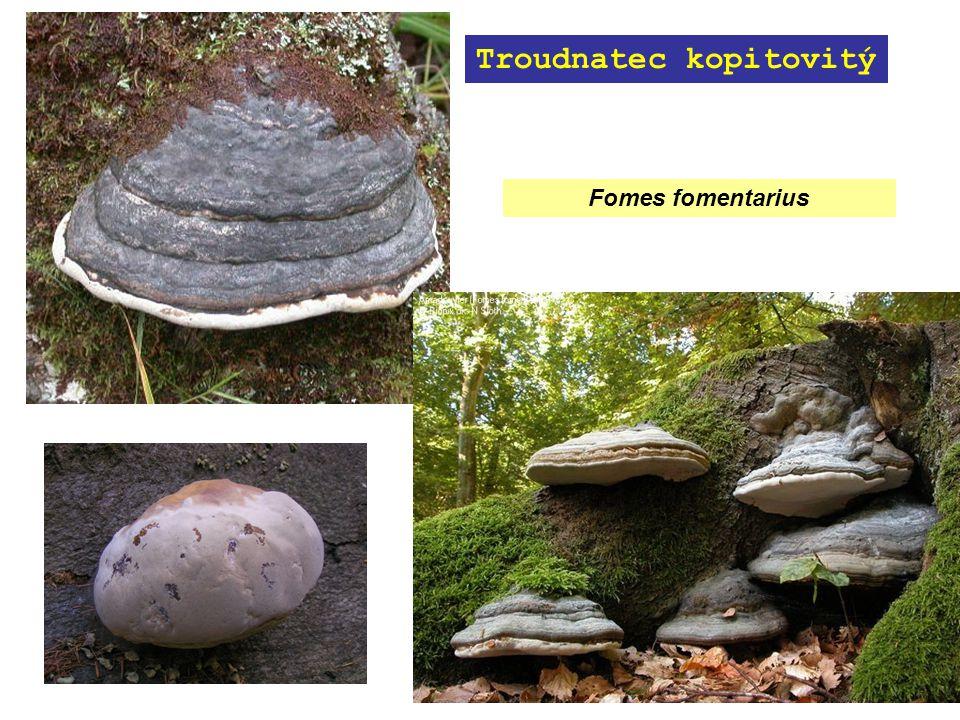 Fomes fomentarius Troudnatec kopitovitý