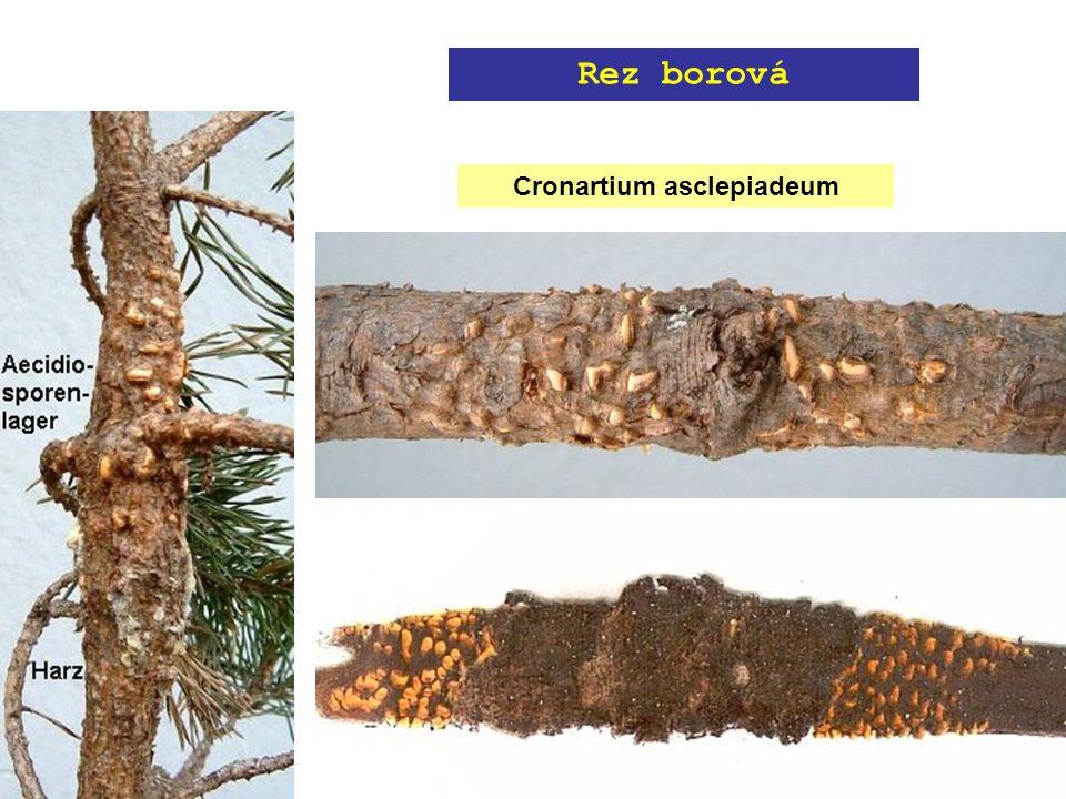 Cronartium asclepiadeum Rez borová