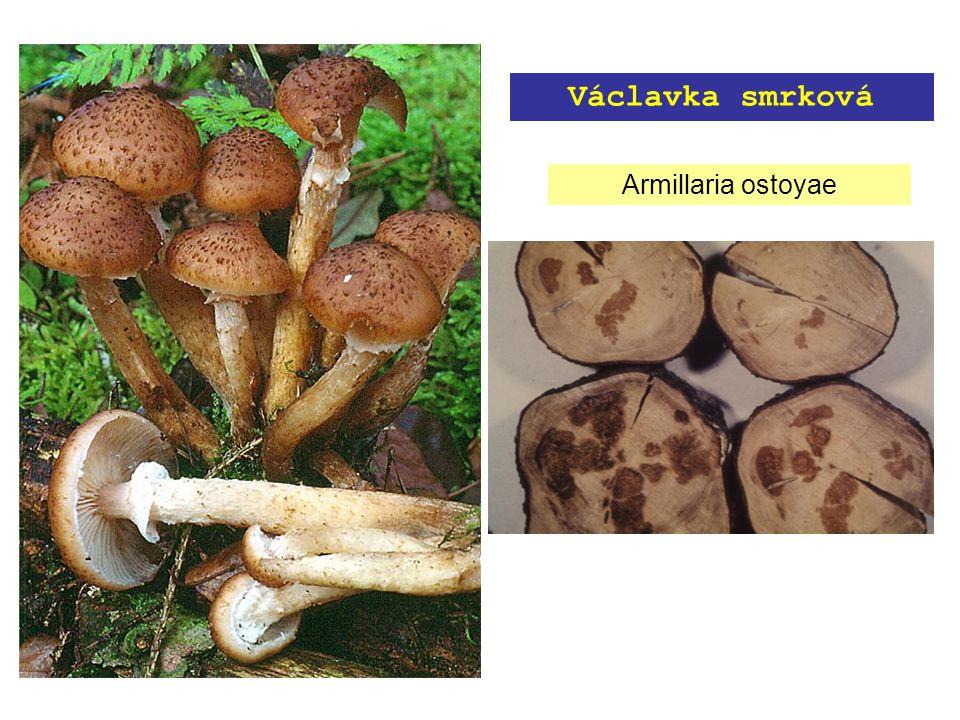 Armillaria ostoyae Václavka smrková