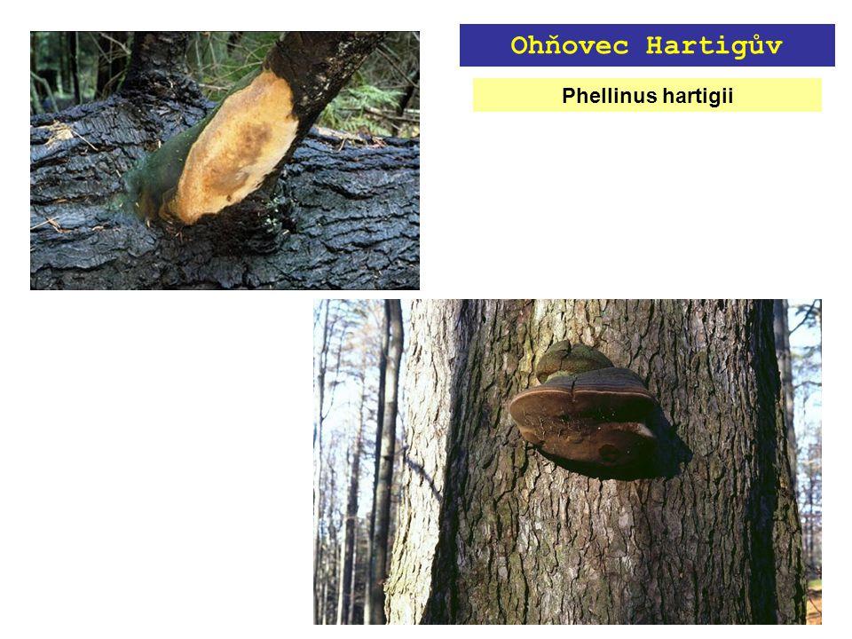 Phellinus hartigii Ohňovec Hartigův