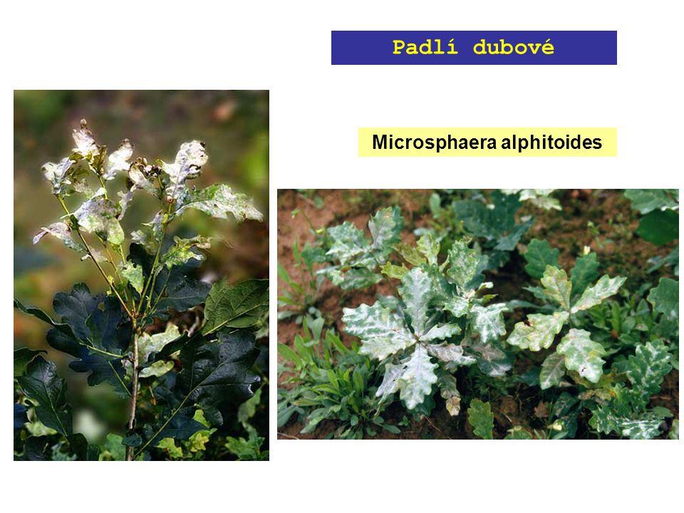 Microsphaera alphitoides Padlí dubové