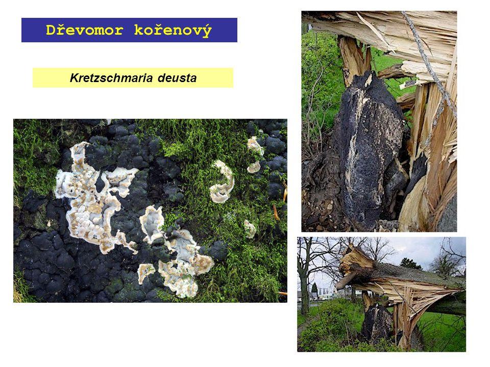 Kretzschmaria deusta Dřevomor kořenový
