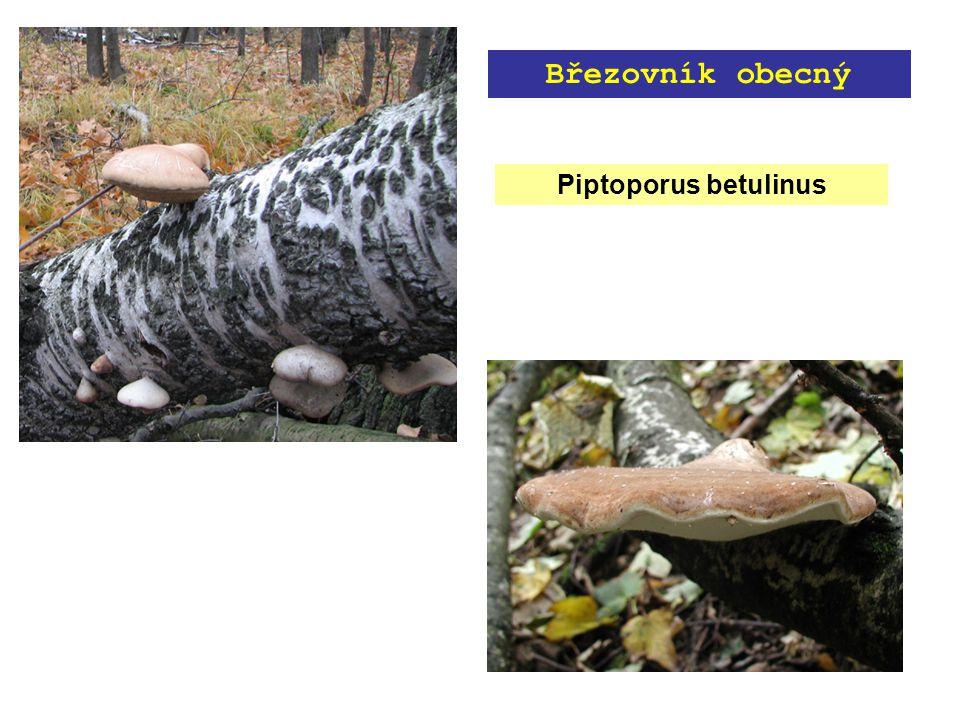 Piptoporus betulinus Březovník obecný