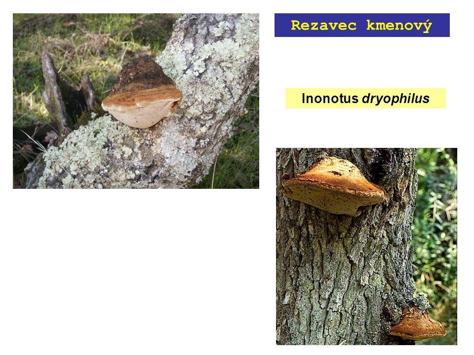 Inonotus dryophilus Rezavec kmenový