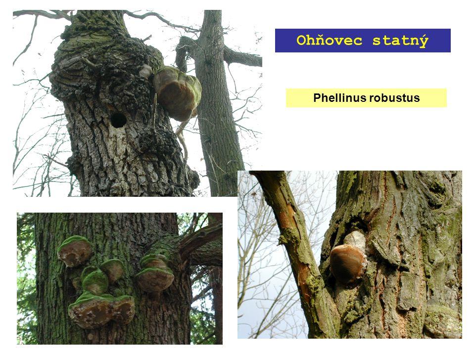 Phellinus robustus Ohňovec statný