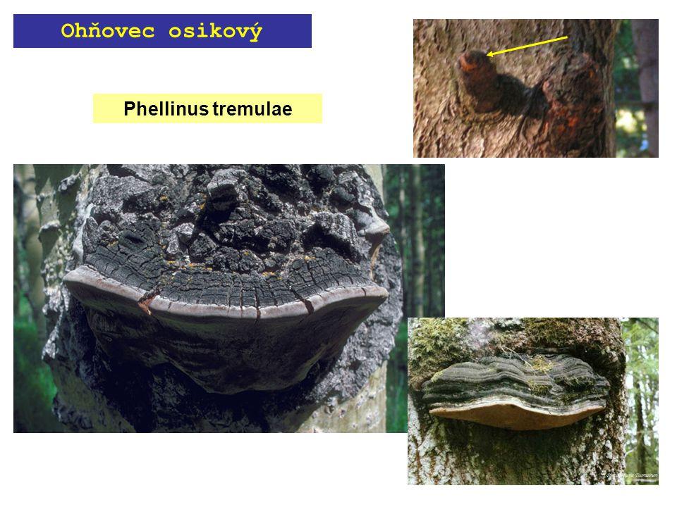 Phellinus tremulae Ohňovec osikový