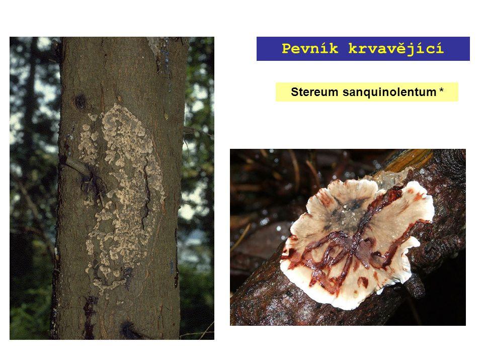 Stereum sanquinolentum * Pevník krvavějící