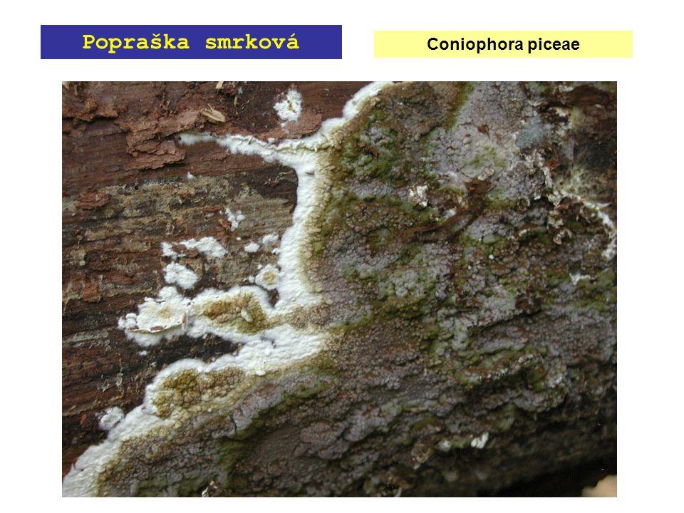 Coniophora piceae Popraška smrková