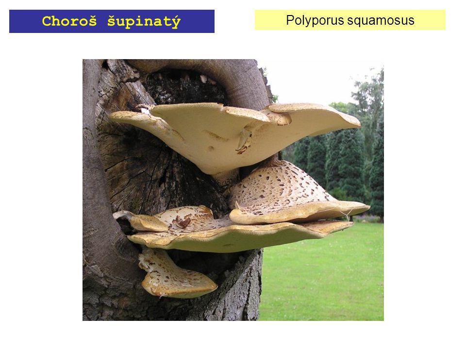 Polyporus squamosus Choroš šupinatý