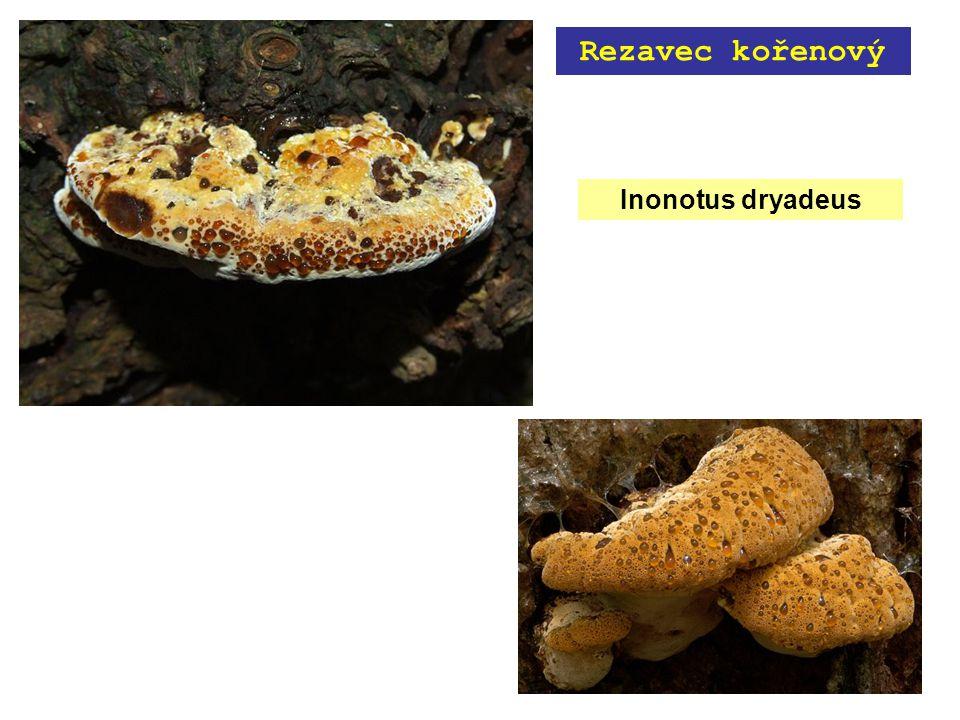 Inonotus dryadeus Rezavec kořenový