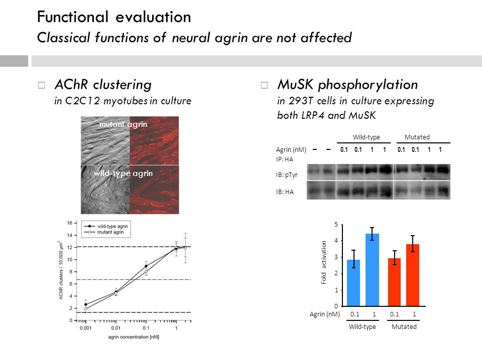  AChR clustering in C2C12 myotubes in culture  MuSK phosphorylation in 293T cells in culture expressing both LRP4 and MuSK mutant agrin wild-type agrin Agrin (nM) - - 0.1 0.1 1 1 0.1 0.1 1 1 IP: HA IB: pTyr IB: HA Wild-type Mutated 0 1 2 3 4 5 Fold activation Agrin (nM)0.1 1 1 Wild-typeMutated Functional evaluation Classical functions of neural agrin are not affected