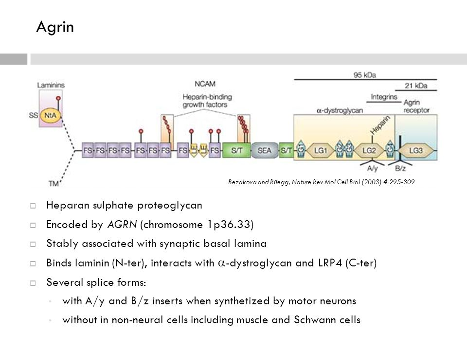 Agrin  Heparan sulphate proteoglycan  Encoded by AGRN (chromosome 1p36.33)  Stably associated with synaptic basal lamina  Binds laminin (N-ter), interacts with  -dystroglycan and LRP4 (C-ter)  Several splice forms: with A/y and B/z inserts when synthetized by motor neurons without in non-neural cells including muscle and Schwann cells Bezakova and Rüegg, Nature Rev Mol Cell Biol (2003) 4:295-309