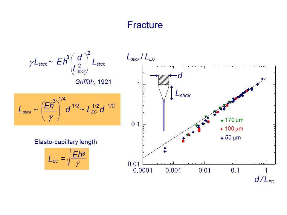 Fracture d L stick  ~ d 2 2 E hE h 3 L stick / L EC d / L EC 170  m 100  m  50  m Elasto-capillary length L EC =  ~  1/4 d 1/2 Eh 3 L stick ~ L EC d 1/2 Griffith, 1921 Eh 3