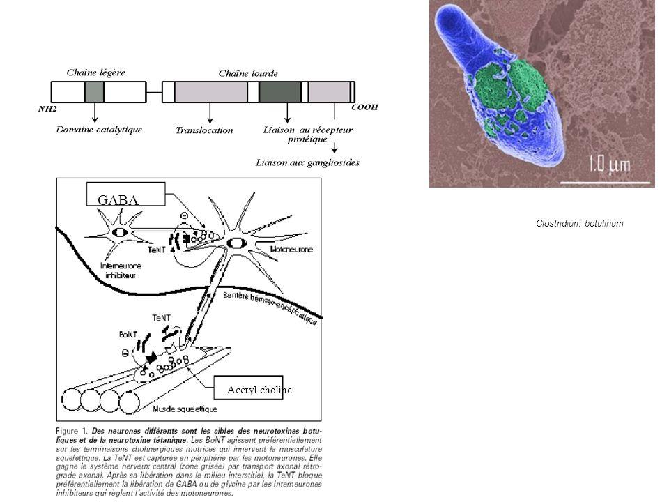 Clostridium botulinum Acétyl choline GABA