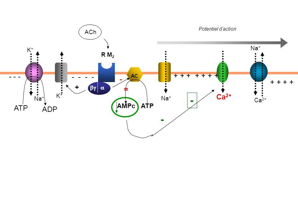 Potentiel d'action ACh + + + + + + + + + - - - - - Ca 2+ ATP ADP Na + Ca 2+ Na + K+K+ K+K+  AC AMPc ATP + - - R M 2 - =