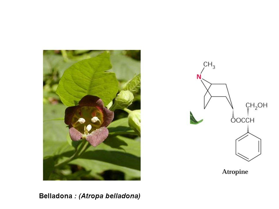 Belladona : (Atropa belladona)