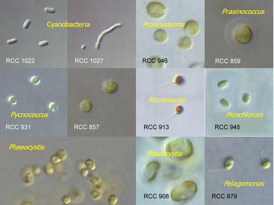 Cyanobacteria Prasinococcus Prasinoderma Pycnococcus Micromonas Picochlorum Phaeocystis Pelagomonas