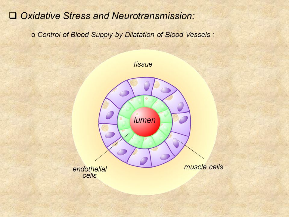 o Control of Blood Supply by Dilatation of Blood Vessels : lumen guanylate cyclases phosphokinases proteins phosphorylation proteins phosphorylation  Oxidative Stress and Neurotransmission: NO°