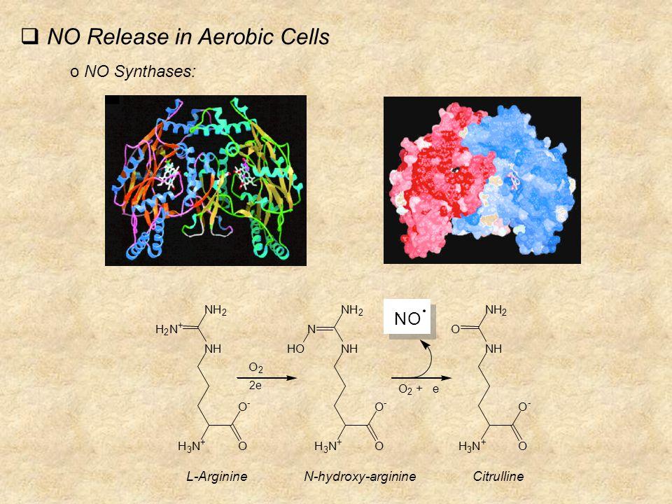 NO Release in Aerobic Cells o NO Synthases: NH 2 2 + NH 2 NHN NH 2 O NH H 3 N + O O - NH H 3 N + O O - NH H 3 N + O O - HO O 2 + e O 2 NO 2e L-ArginineN-hydroxy-arginineCitrulline